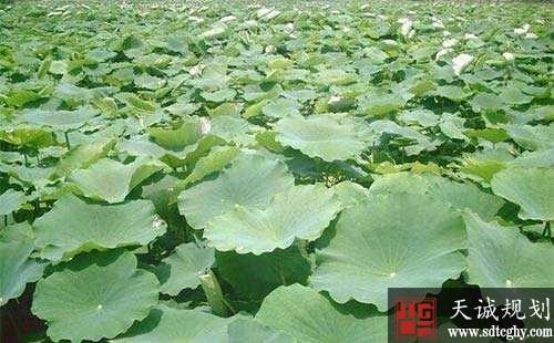 镇平县农土地流转开展特色种植加快乡村振兴步伐