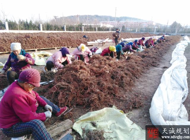 莒县库山乡农土地流转大力发展药材特色种植